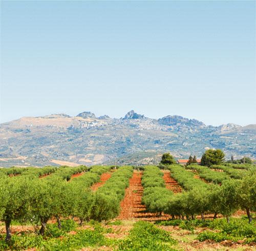 Caltabellotta Olive Groves, Sicily
