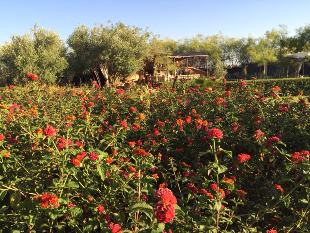 Rose gardens, Fawakay Villas Marrakesh